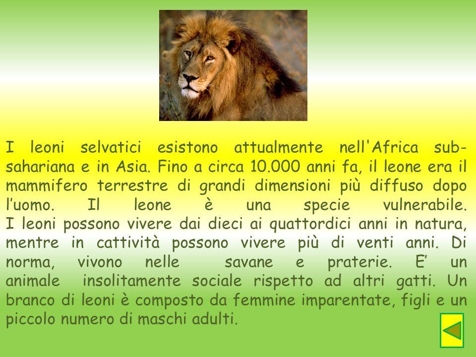 I leoni selvatici esistono attualmente nell Africa sub-sahariana e in Asia. Fino a circa 10.000 anni fa, il leone era il mammifero terrestre di grandi dimensioni più diffuso dopo l'uomo. Il leone è una specie vulnerabile.