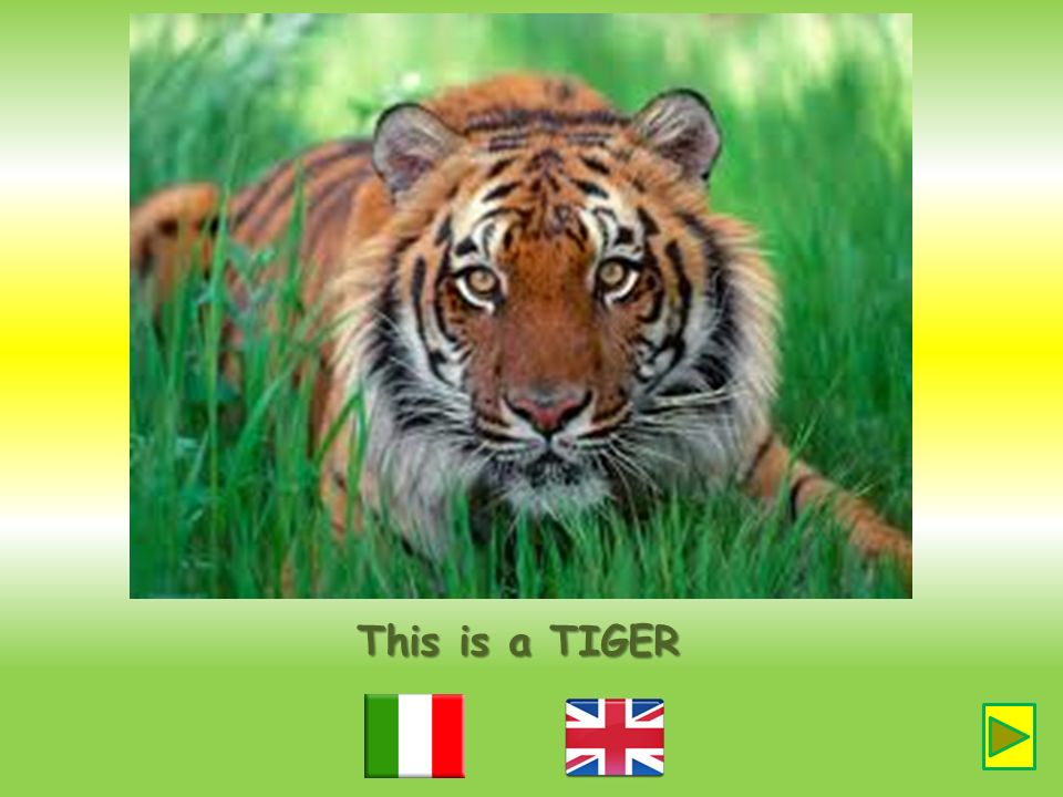 This is a TIGER