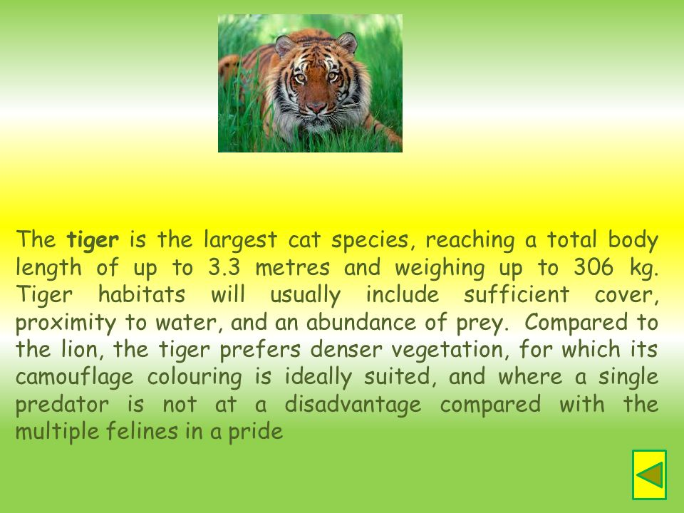 The tiger is the largest cat species, reaching a total body length of up to 3.3 metres and weighing up to 306 kg.