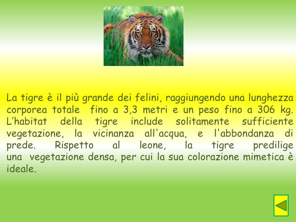 La tigre è il più grande dei felini, raggiungendo una lunghezza corporea totale fino a 3,3 metri e un peso fino a 306 kg.