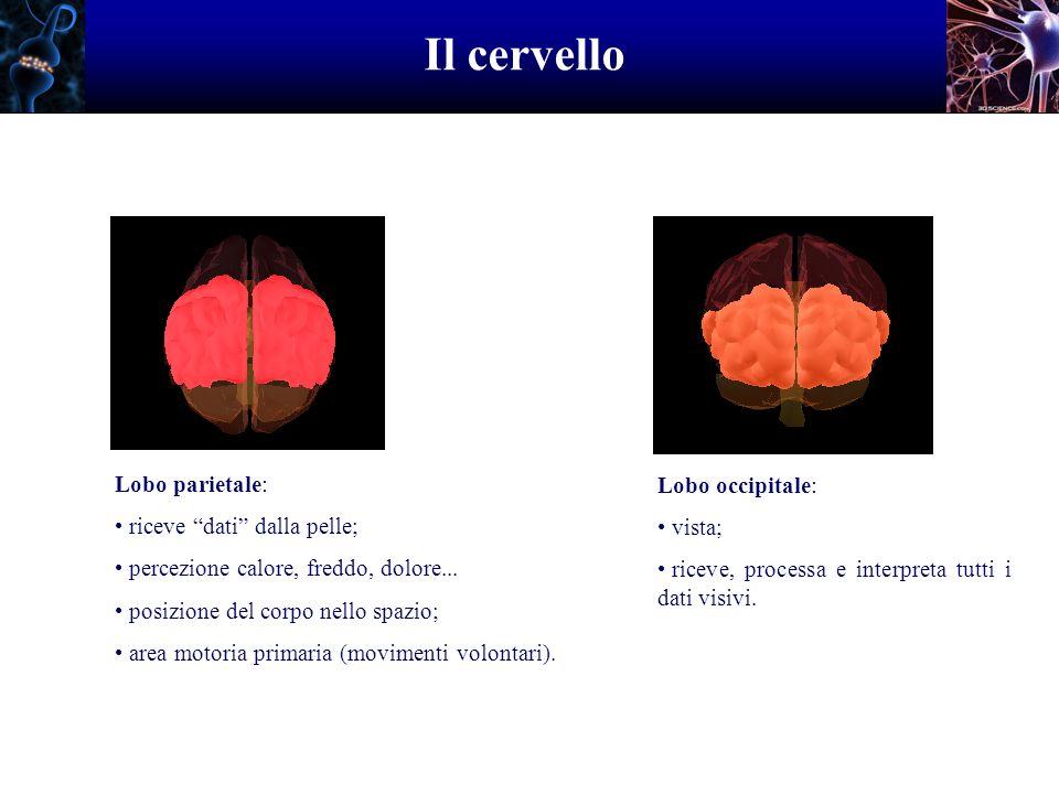 Il cervello Lobo parietale: Lobo occipitale: