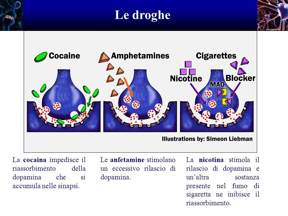 Le droghe La cocaina impedisce il riassorbimento della dopamina che si accumula nelle sinapsi.
