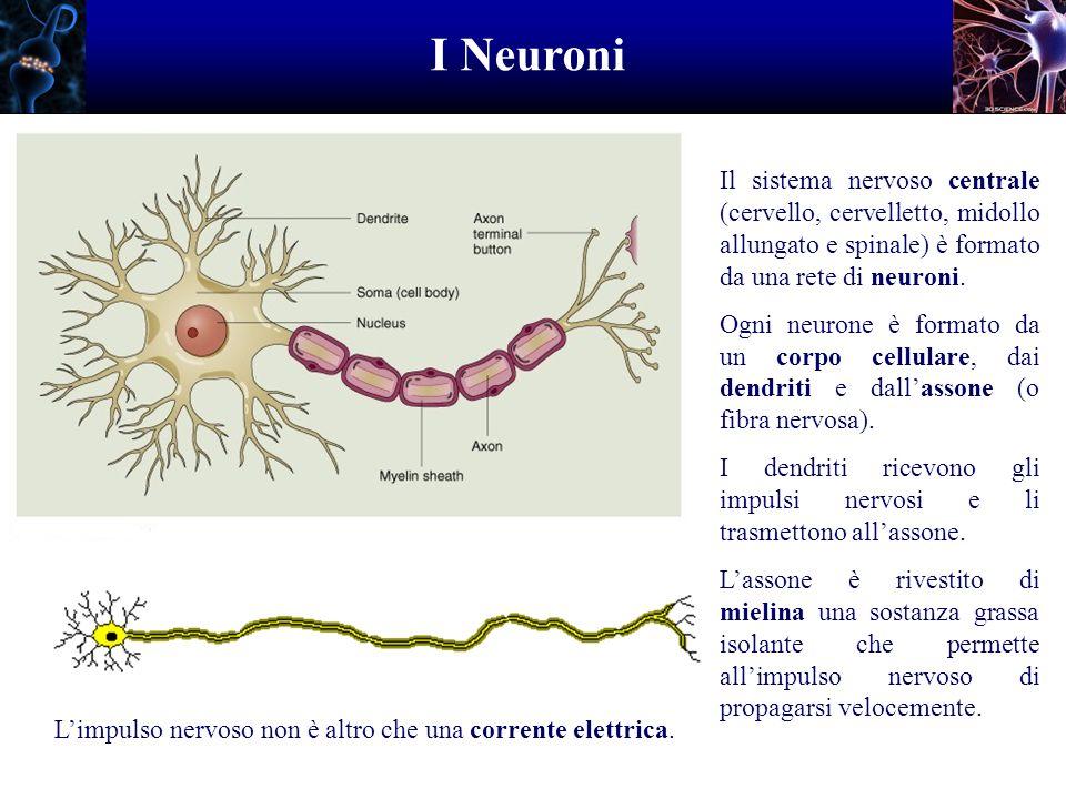 I Neuroni Il sistema nervoso centrale (cervello, cervelletto, midollo allungato e spinale) è formato da una rete di neuroni.