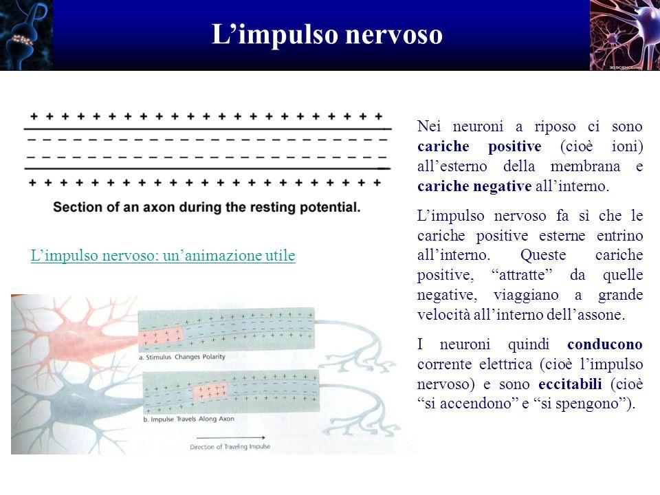 L'impulso nervoso Nei neuroni a riposo ci sono cariche positive (cioè ioni) all'esterno della membrana e cariche negative all'interno.
