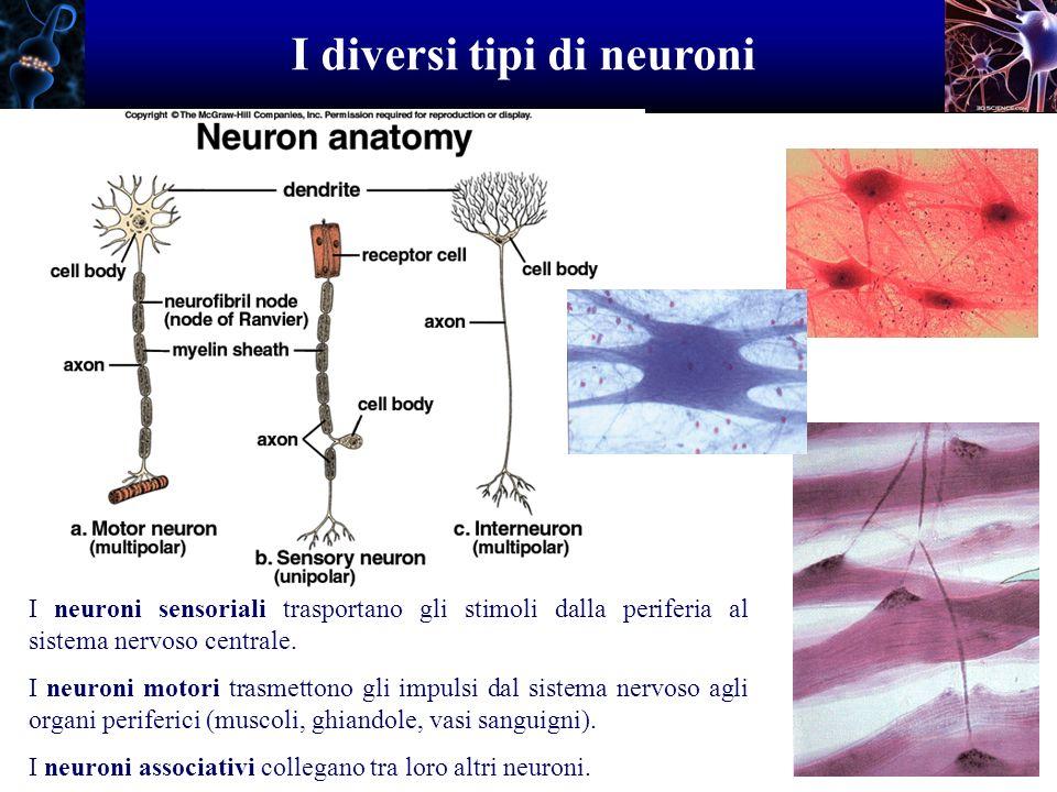 I diversi tipi di neuroni