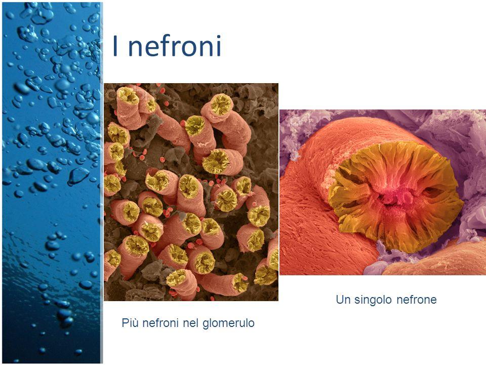 I nefroni Un singolo nefrone Più nefroni nel glomerulo