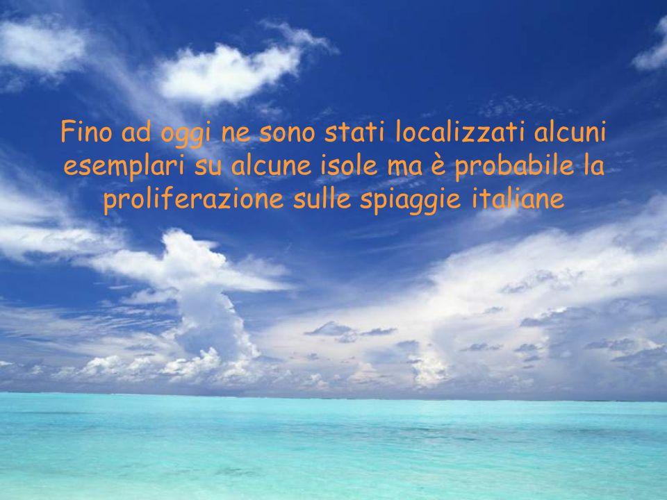 Fino ad oggi ne sono stati localizzati alcuni esemplari su alcune isole ma è probabile la proliferazione sulle spiaggie italiane
