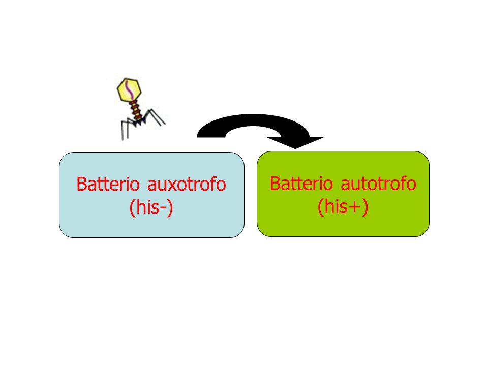 Batterio autotrofo (his+) Batterio auxotrofo (his-)