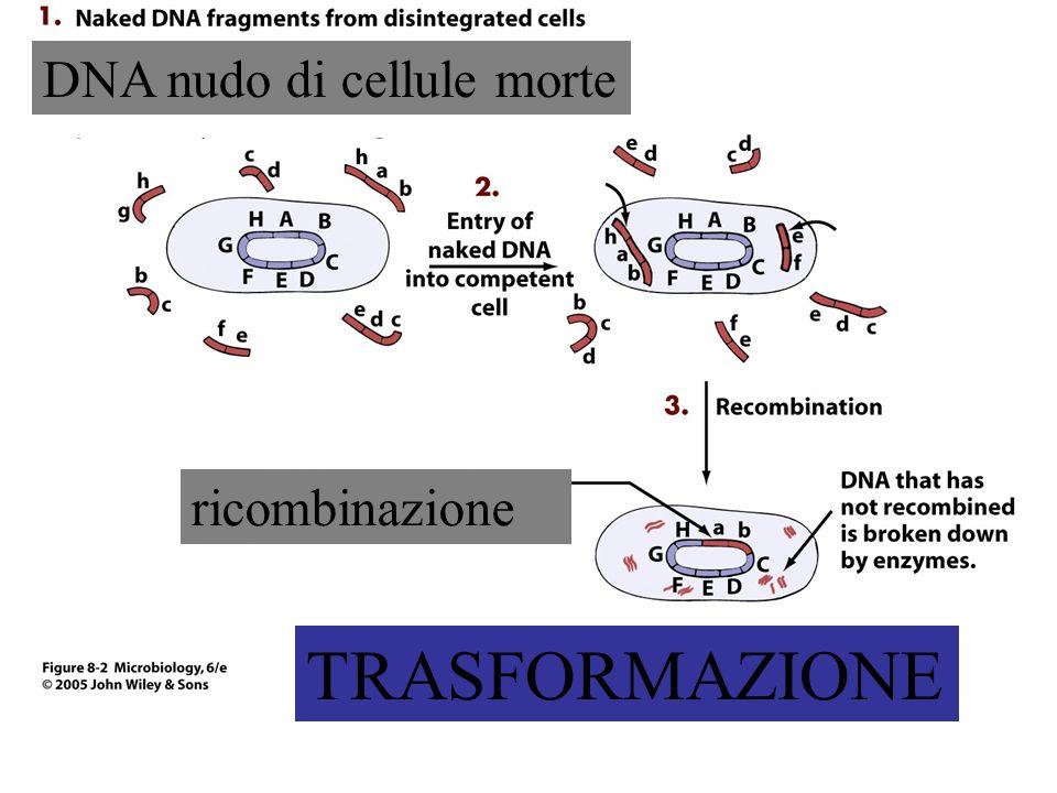 TRASFORMAZIONE DNA nudo di cellule morte ricombinazione