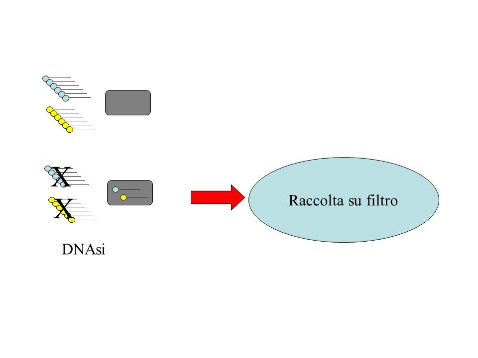 DNAsi X Raccolta su filtro
