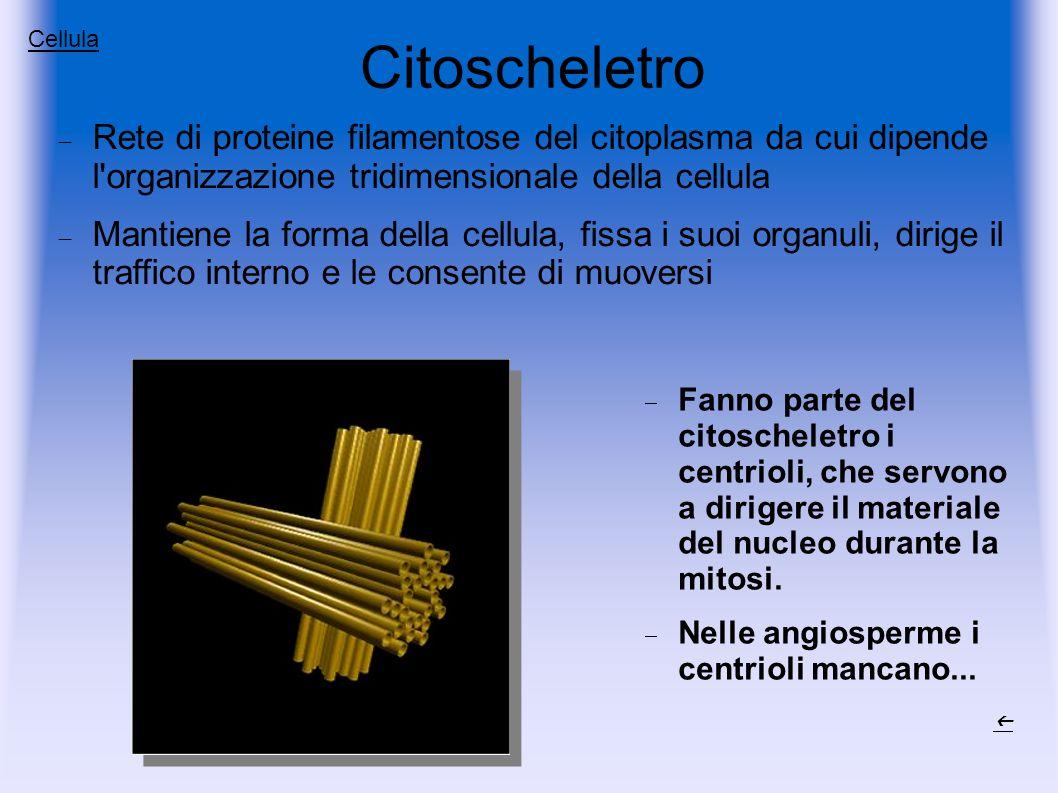 Citoscheletro Cellula. Rete di proteine filamentose del citoplasma da cui dipende l organizzazione tridimensionale della cellula.