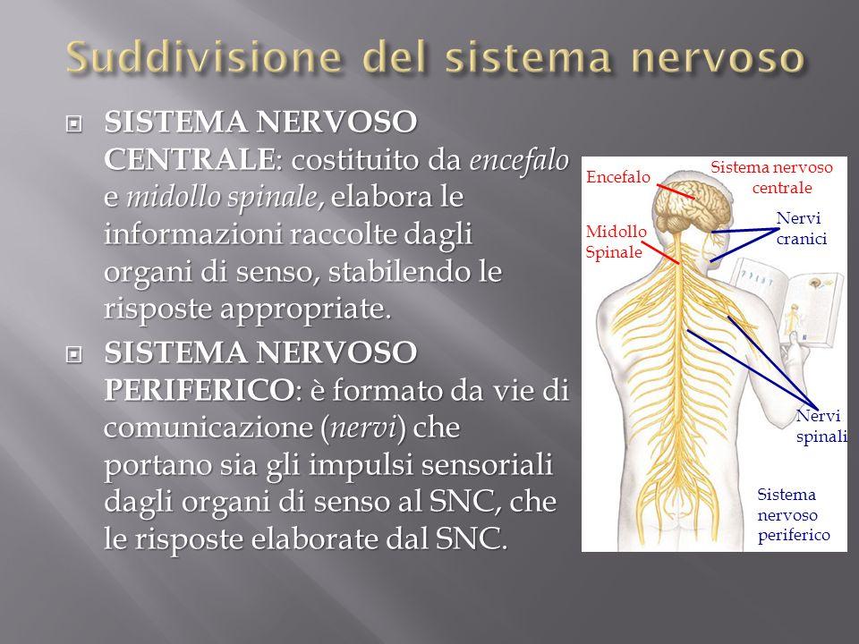 Suddivisione del sistema nervoso