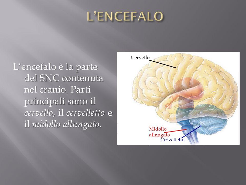 L'ENCEFALO Cervello. L'encefalo è la parte del SNC contenuta nel cranio. Parti principali sono il cervello, il cervelletto e il midollo allungato.