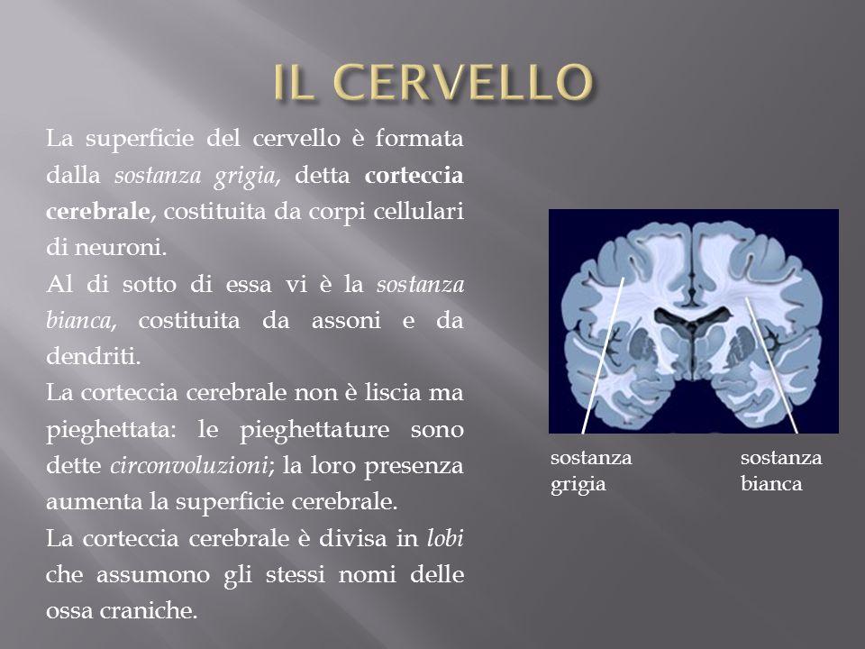 IL CERVELLO La superficie del cervello è formata dalla sostanza grigia, detta corteccia cerebrale, costituita da corpi cellulari di neuroni.