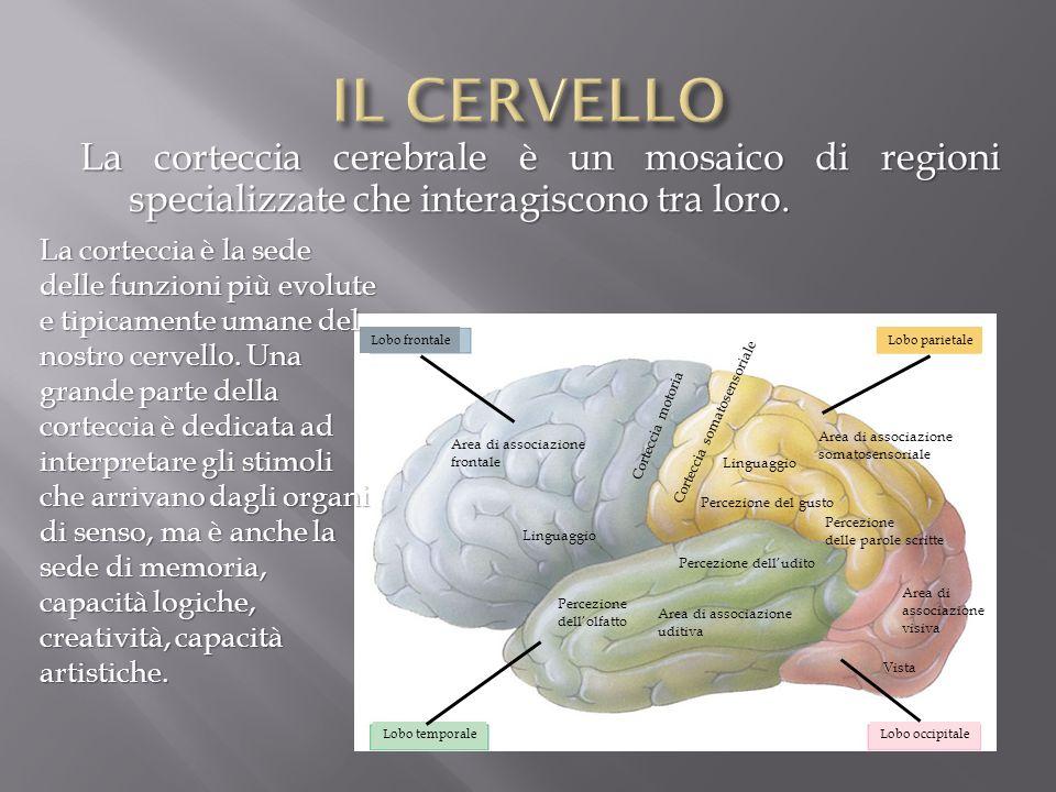IL CERVELLO La corteccia cerebrale è un mosaico di regioni specializzate che interagiscono tra loro.