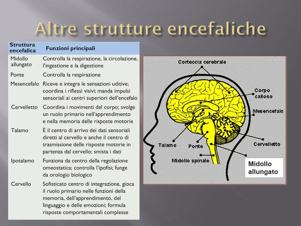 Altre strutture encefaliche