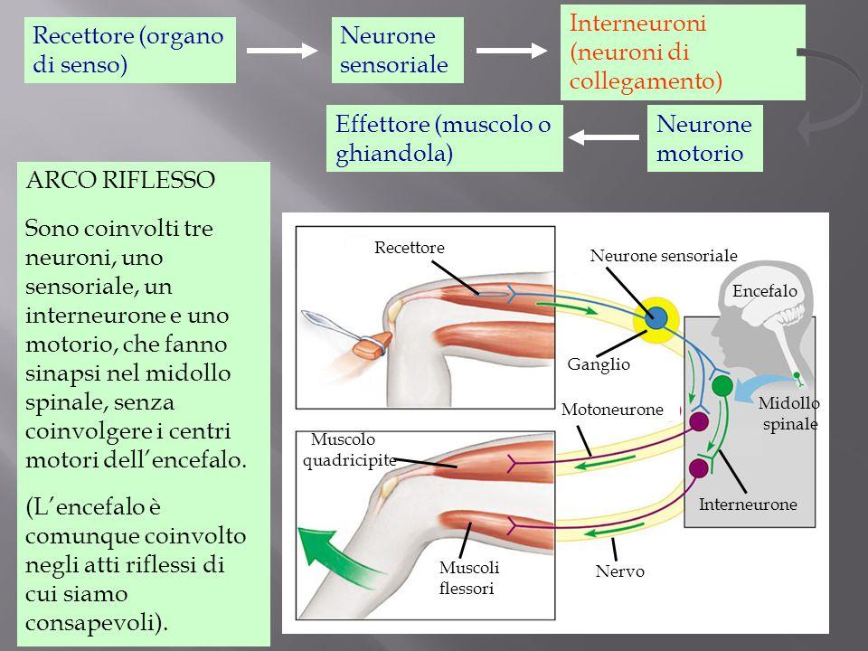 Interneuroni (neuroni di collegamento) Recettore (organo di senso)