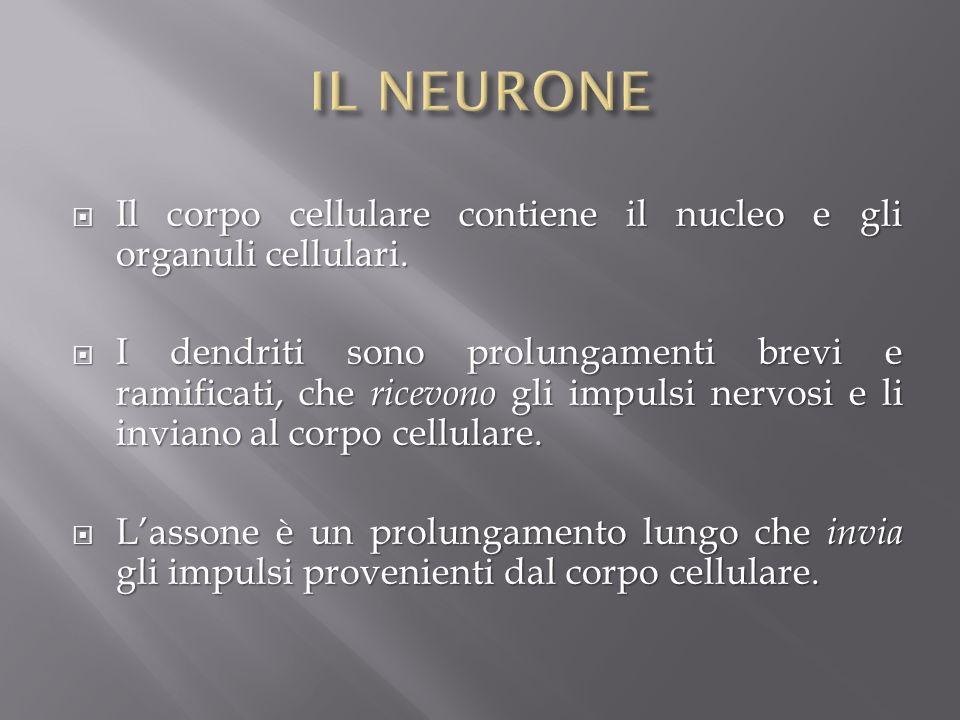 IL NEURONE Il corpo cellulare contiene il nucleo e gli organuli cellulari.