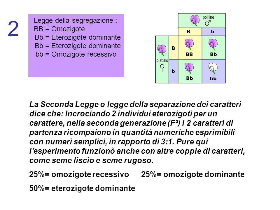 2 Legge della segregazione : BB = Omozigote. Bb = Eterozigote dominante. bb = Omozigote recessivo.