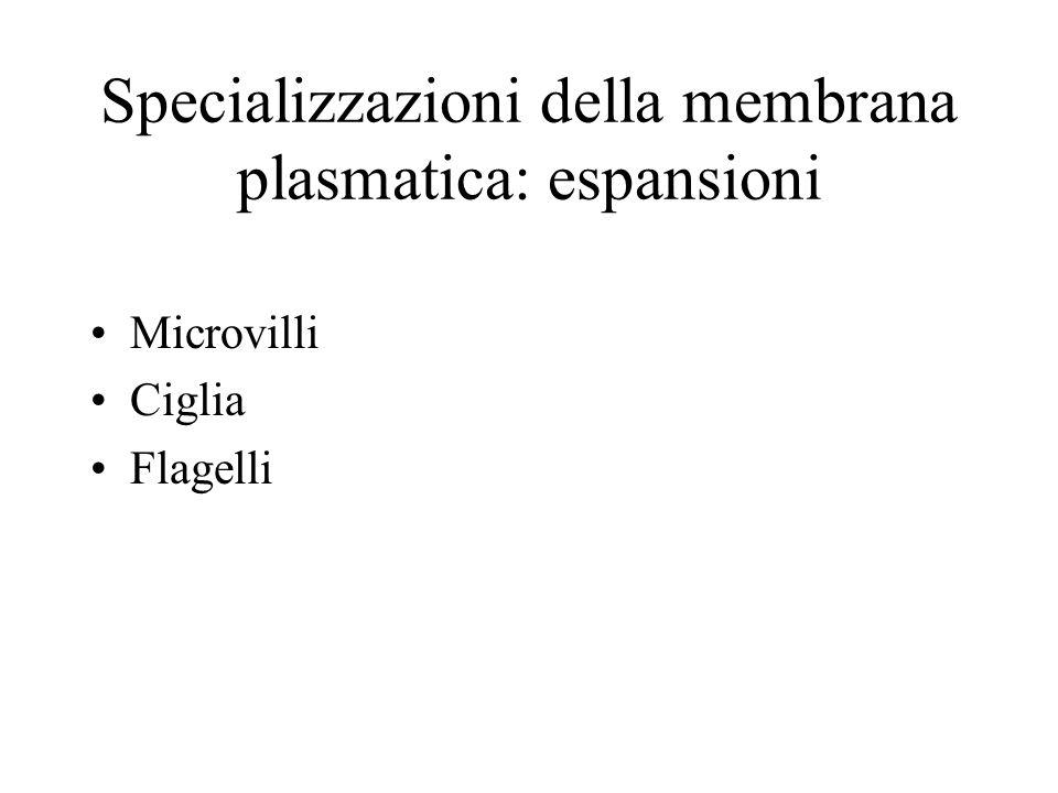 Specializzazioni della membrana plasmatica: espansioni