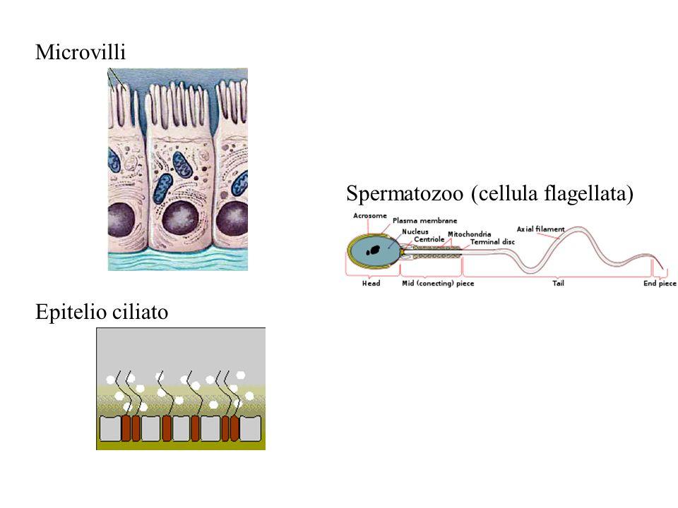 Microvilli Spermatozoo (cellula flagellata) Epitelio ciliato