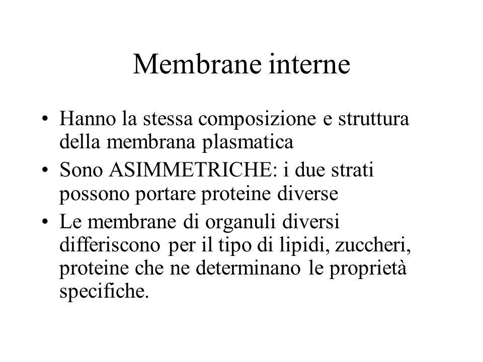 Membrane interne Hanno la stessa composizione e struttura della membrana plasmatica.