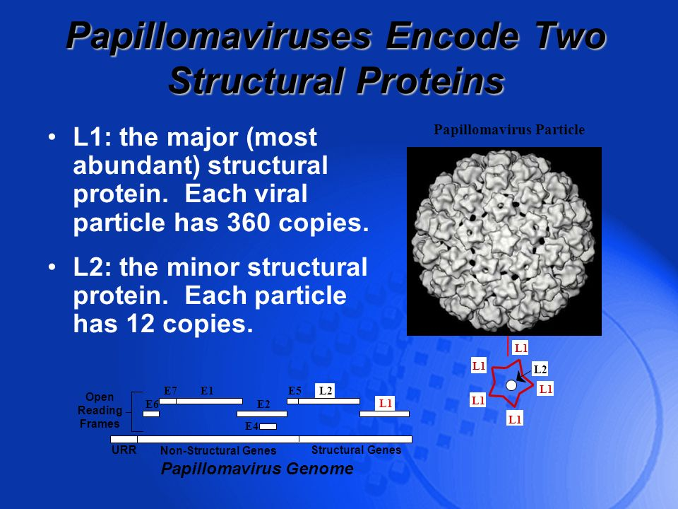 Papillomaviruses Encode Two Structural Proteins