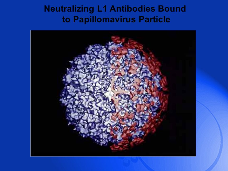 Neutralizing L1 Antibodies Bound to Papillomavirus Particle