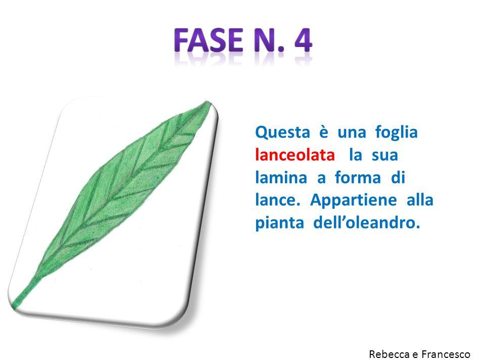 Fase n. 4 Questa è una foglia lanceolata la sua lamina a forma di lance. Appartiene alla pianta dell'oleandro.