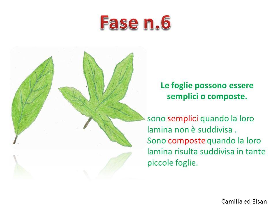 Le foglie possono essere semplici o composte.