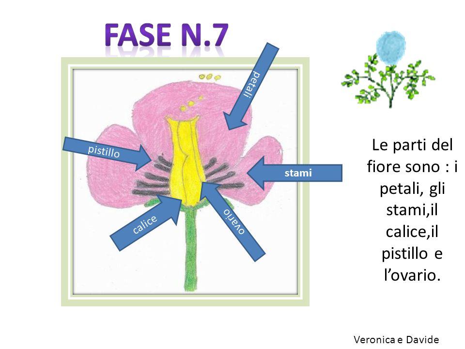 Fase n.7 petali. Le parti del fiore sono : i petali, gli stami,il calice,il pistillo e l'ovario. pistillo.