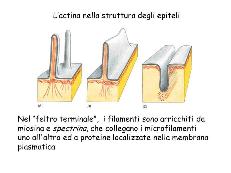L'actina nella struttura degli epiteli