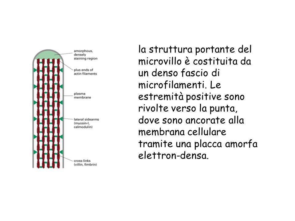 la struttura portante del microvillo è costituita da un denso fascio di microfilamenti.