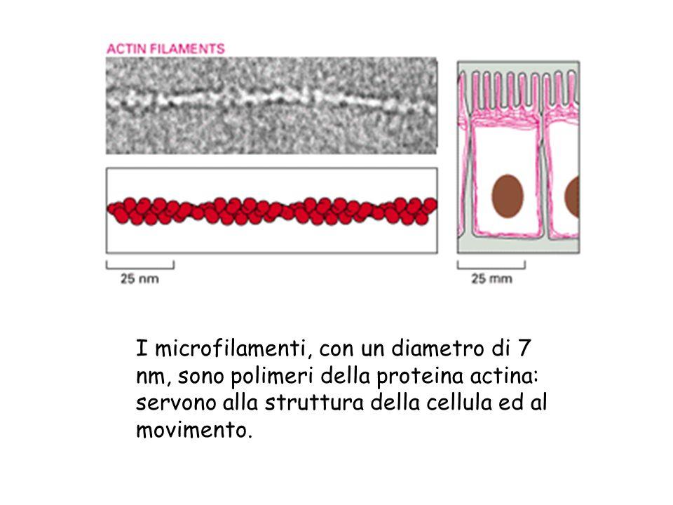 I microfilamenti, con un diametro di 7 nm, sono polimeri della proteina actina: servono alla struttura della cellula ed al movimento.