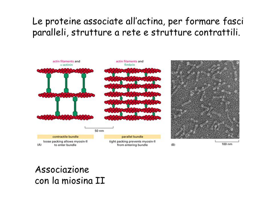 Le proteine associate all'actina, per formare fasci
