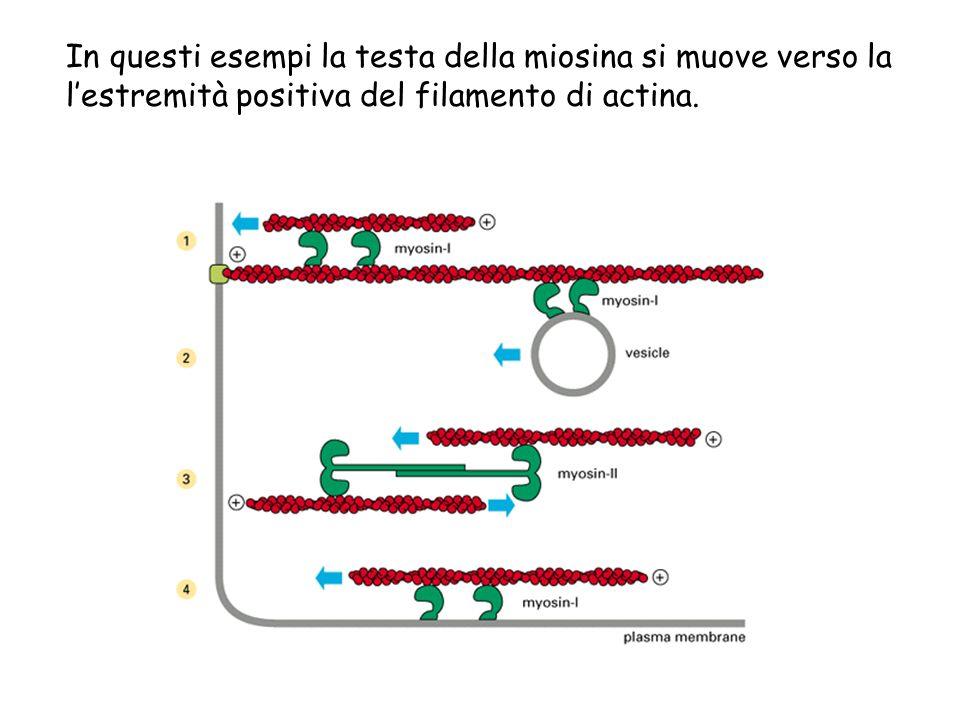 In questi esempi la testa della miosina si muove verso la l'estremità positiva del filamento di actina.