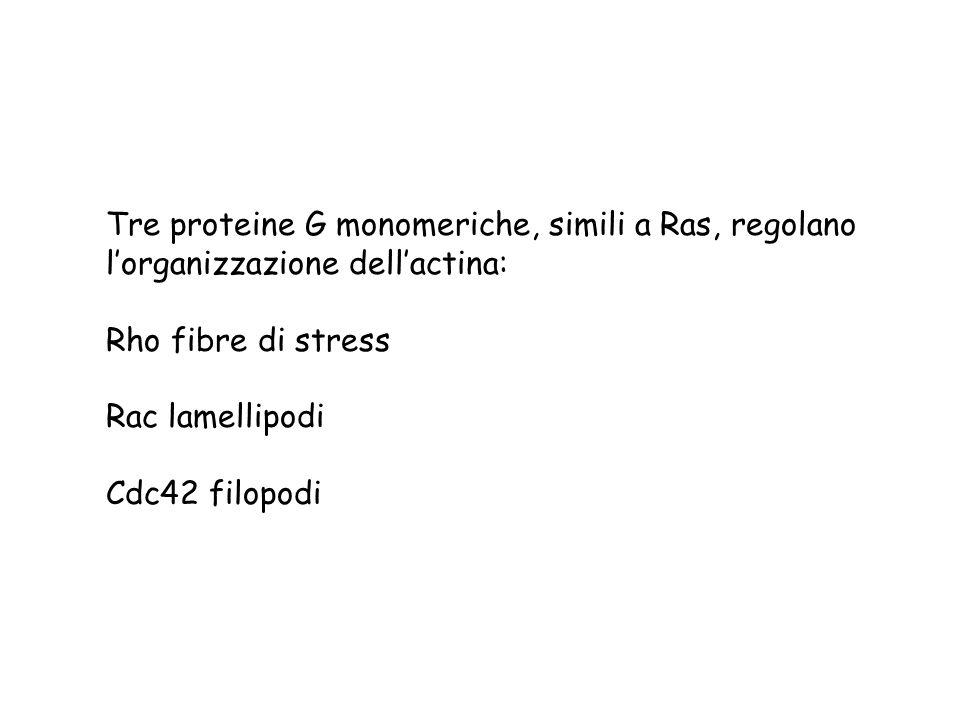 Tre proteine G monomeriche, simili a Ras, regolano l'organizzazione dell'actina: