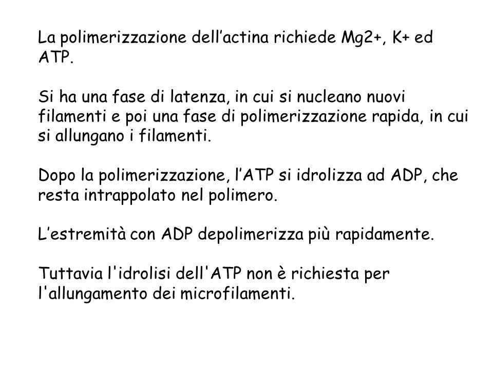 La polimerizzazione dell'actina richiede Mg2+, K+ ed ATP.