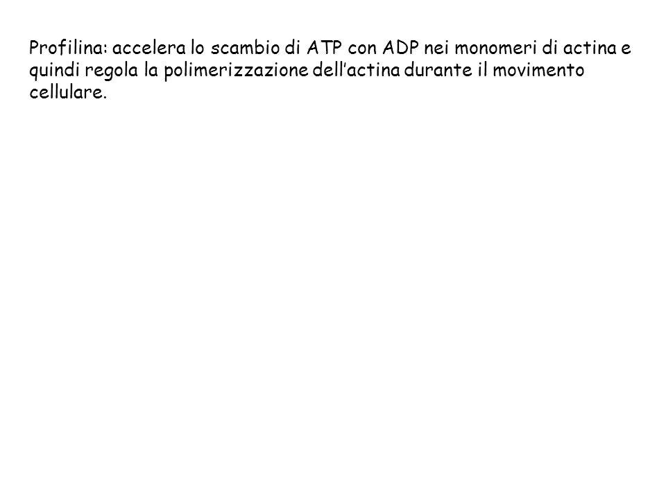 Profilina: accelera lo scambio di ATP con ADP nei monomeri di actina e quindi regola la polimerizzazione dell'actina durante il movimento cellulare.