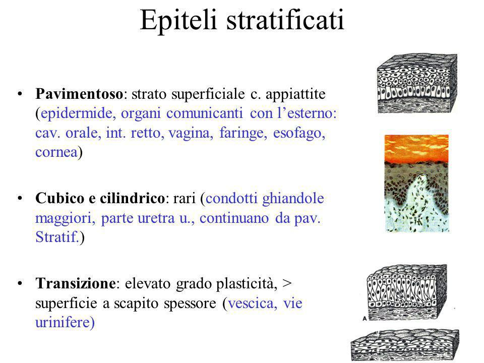 Epiteli stratificati