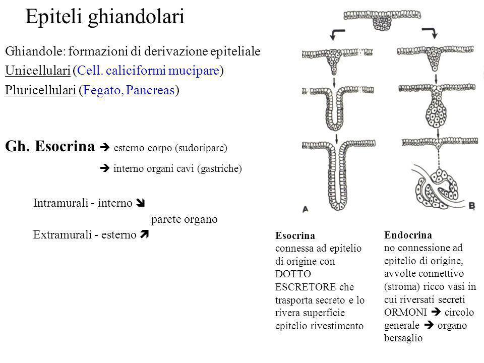 Epiteli ghiandolari Gh. Esocrina  esterno corpo (sudoripare)