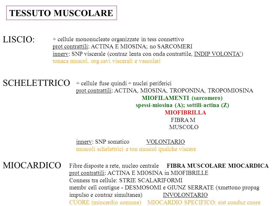TESSUTO MUSCOLARE LISCIO: SCHELETTRICO MIOCARDICO