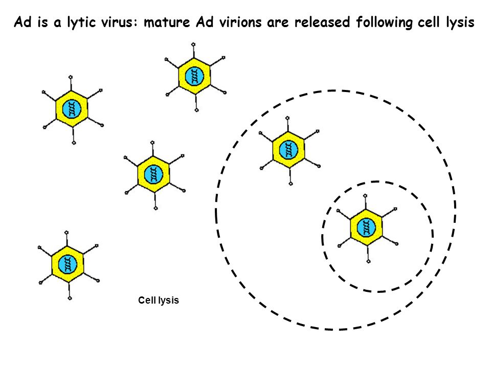 Ad is a lytic virus: mature Ad virions are released following cell lysis