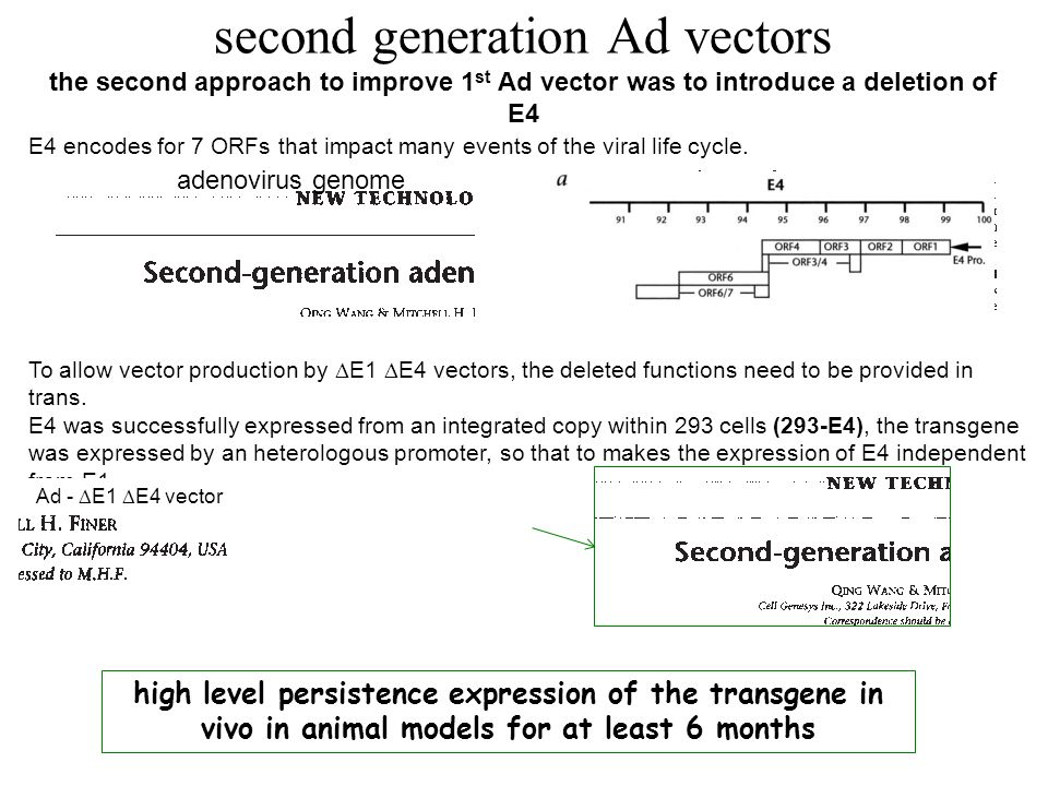 second generation Ad vectors the second approach to improve 1st Ad vector was to introduce a deletion of E4