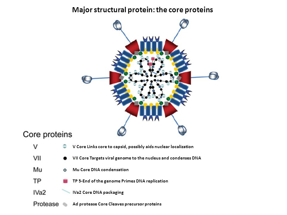 Major structural protein: the core proteins