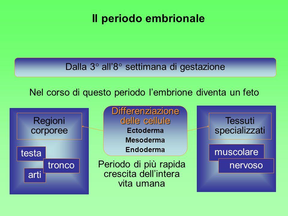 Il periodo embrionale Dalla 3° all'8° settimana di gestazione