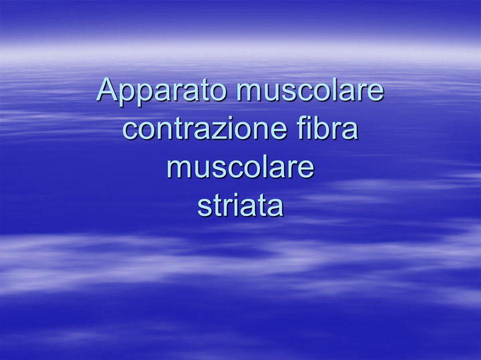 Apparato muscolare contrazione fibra muscolare striata