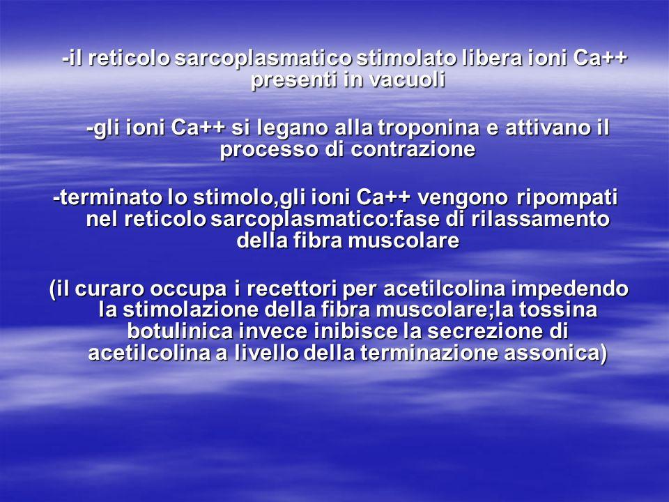 -il reticolo sarcoplasmatico stimolato libera ioni Ca++ presenti in vacuoli