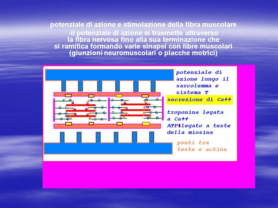 potenziale di azione e stimolazione della fibra muscolare