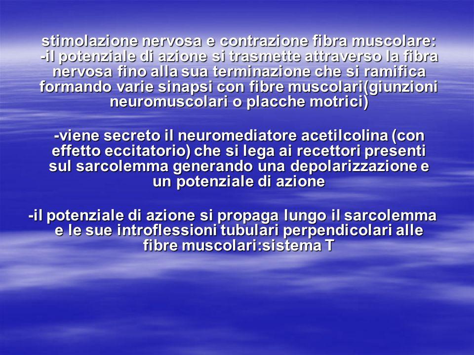 stimolazione nervosa e contrazione fibra muscolare: -il potenziale di azione si trasmette attraverso la fibra nervosa fino alla sua terminazione che si ramifica formando varie sinapsi con fibre muscolari(giunzioni neuromuscolari o placche motrici)